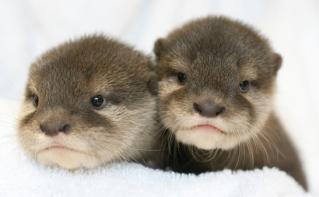 Baby Otters via nj1015.com