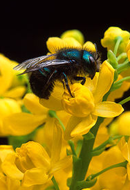Bees image via Wikipedia