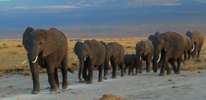 Elephants via wikipedia.org