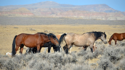 Wild Mustangs in Wyoming by SteppinStars via Wikimedia Commons