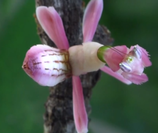Pink Orchid Mantis via Precarious333 on Youtube