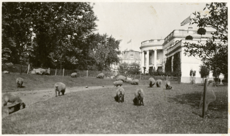 President Wilson's Sheep at White House