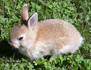 Rabbit via Wikimedia Commons