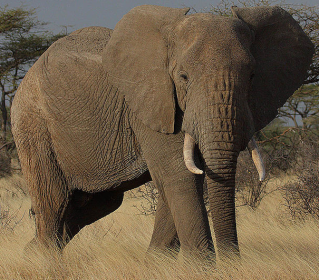 African Elephants via Wikipedia