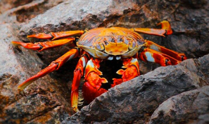 Red Rock crab via amazing Species?