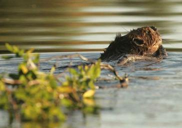 Beaver via Wikimedia Commons