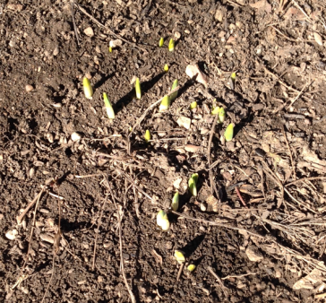 Daffodils Pushing Up 2-16-14
