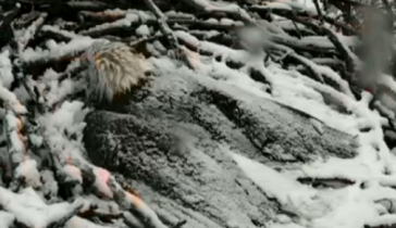 Eagle Cam via Webcams.dnr.state.mn.us