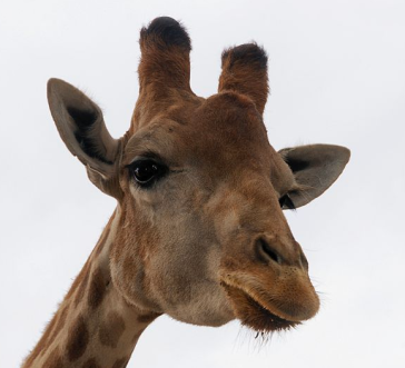 Giraffe at the Lisbon Zoo via Alvesgaspar via Wikimedia Commons