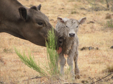 Valentine the calf.  Image Signal Hill Sancturary via onegreenplanet.org