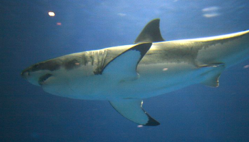 Great White Shark wikimedia Commons