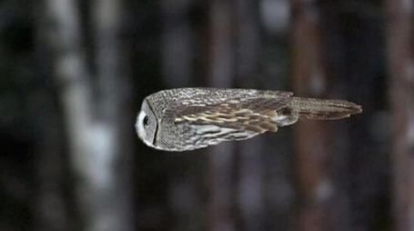 An Owl in Flight via Strange Animals on Twitter