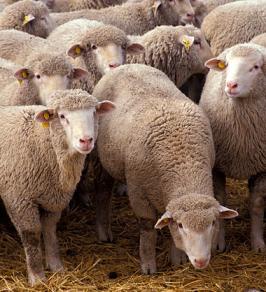 Sheep via Wikipedia