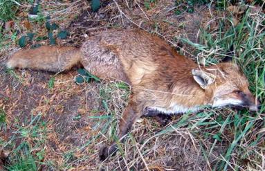 Dead Fox via Wikimedia Commons