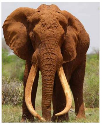 Satao elephant via christianChristensen on Twitter