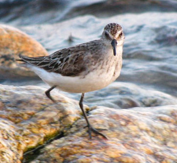 Semipalmated Sandpiper Will Sweet via Wikimedia Commons