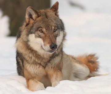 Wolf via Wikimedia Commons