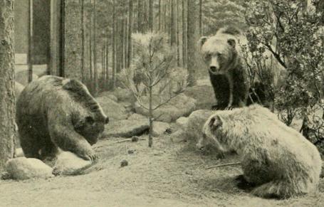 Mexican Grizley Bear