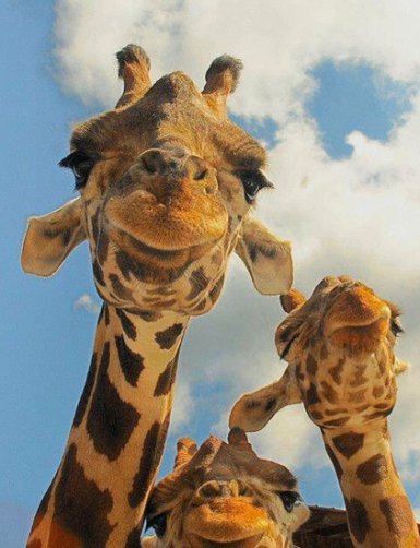 Giraffes via Fascinating Pictures on Twitter