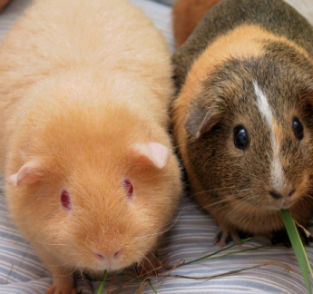 Guinea Pigs via Wikipedia